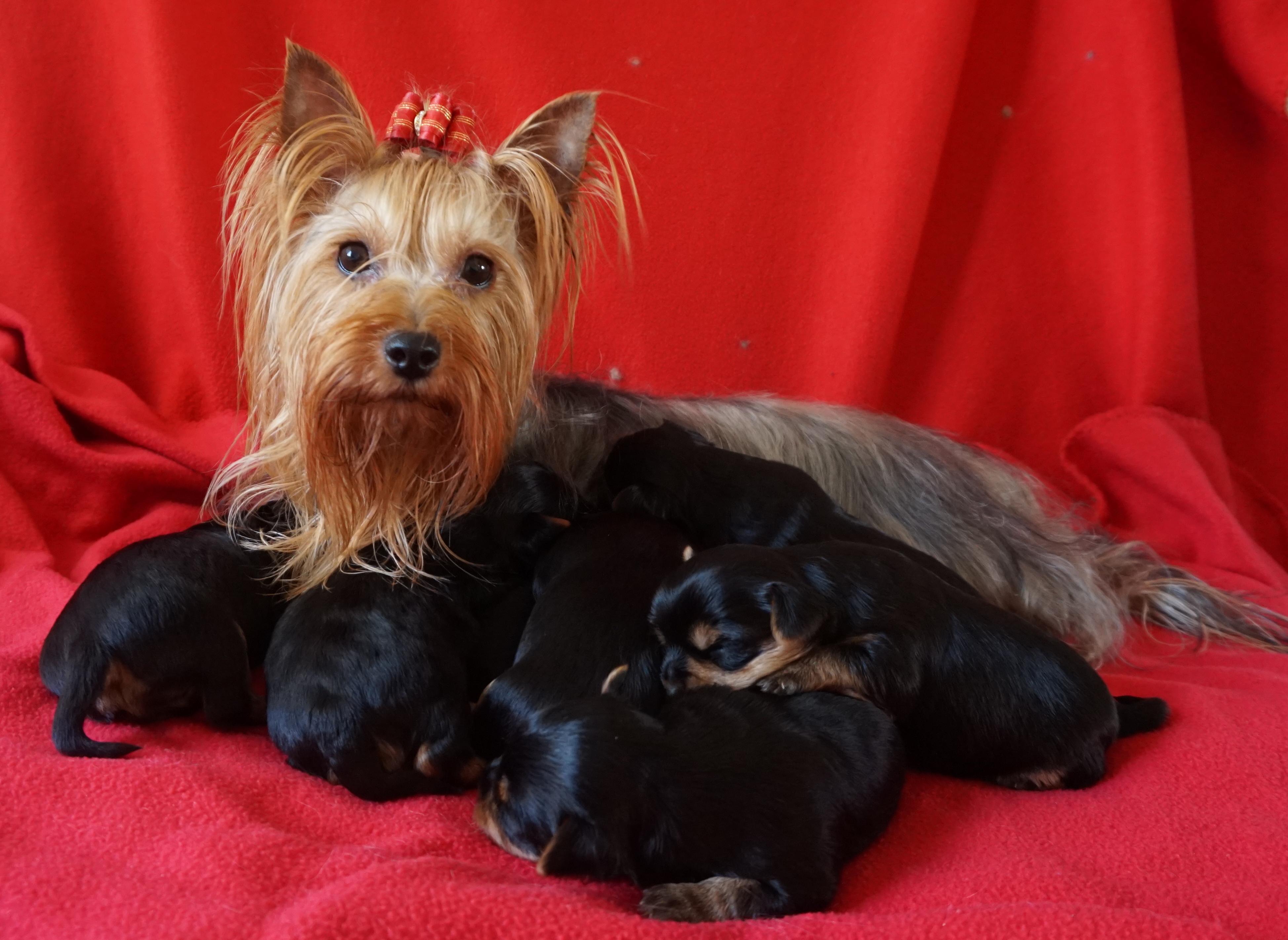 Yorkshire terrier Cherie v. indacibian met pups